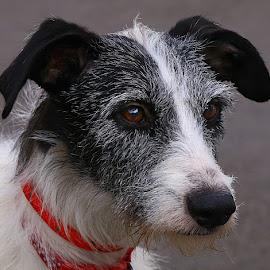 Sally by Chrissie Barrow - Animals - Dogs Portraits ( female, rescue, white, ears, fur, grey, dog, lurcher, nose, portrait, black, eyes )