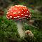 W Åsen svamp 2015 Flugsvamp 204 _DSC6992.jpg