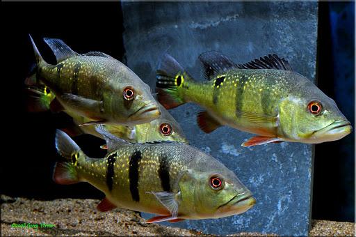 Huong-dan-cach-nuoi-ca-Hoang-Bao-Yen 9878249256