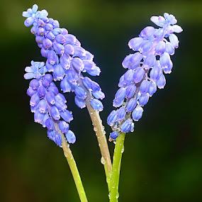 Muscari by Gérard CHATENET - Flowers Single Flower