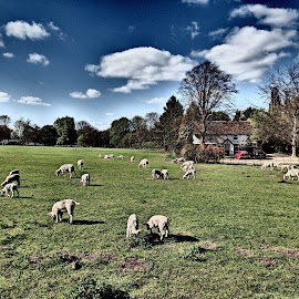 Roaming Lambs by Simon Franks - Animals Other