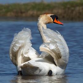 Cygnus olor by Dragomir Taborin - Animals Birds