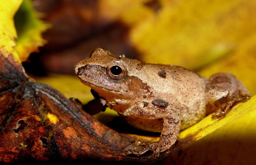 Spring Peeper by Griffin Harris - Animals Amphibians ( wildllife, illinois, frog, griffinh, peeper, spring )