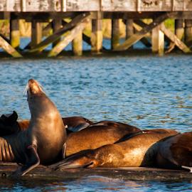 Seal at Oregon Coast by Myra Brizendine Wilson - Animals Sea Creatures ( seal, sea lion, ocean, mammal, animal,  )