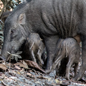Boar Play by Yi Xuan Lee - Animals Other Mammals ( mother, nuzzle, boar, family, young )