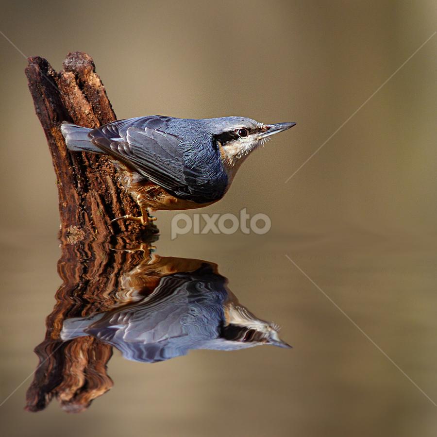 Sitelle by Gérard CHATENET - Animals Birds