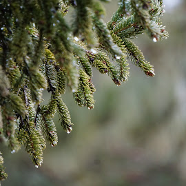 by Kathy Kehl - Nature Up Close Natural Waterdrops ( water, water drops, pine needles, rain drops, pine )