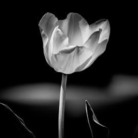 Moonlight by Myra Brizendine Wilson - Black & White Flowers & Plants ( multicolor tulips, spring flowers, black and white, blooms, bloom, tulips, spring )