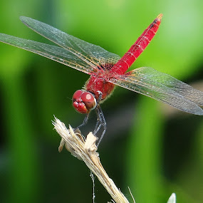 Give me more Red by Subrata Sarkar - Animals Insects & Spiders