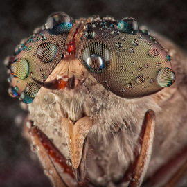 Dews on My Facaet by Vincent Sinaga - Animals Insects & Spiders ( facet, dews, insect, horsefly, animal )
