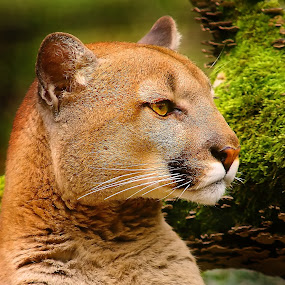 The cougar profile... by Gérard CHATENET - Animals Lions, Tigers & Big Cats