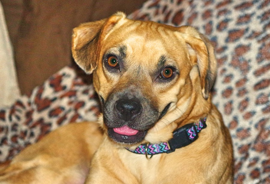 Honey by Kirk Barnes - Animals - Dogs Portraits ( golden, cur mix, dog )