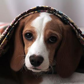 You Woke Me by Sandy Considine - Animals - Dogs Portraits