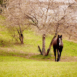Black Horse and a Cherry Tree  by Patty Mo - Animals Horses ( farm animals, animals, horses, patricia maureen photography, farm life, horse, farm living, farm animal, pmp, photo, photography, country, patty mo, farm, farms, down on the farm, photographer, patricia maureen photos, black horse and a cherry tree )