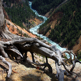 by Vicki Pardoe - Nature Up Close Trees & Bushes ( yellowstone, tree, tree trunk )