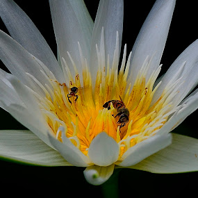 Sleeping lotus with working bees by Francois Wolfaardt - Flowers Single Flower ( contrast, open, bees, lotus, nature, lily, white, insects, flower,  )