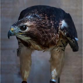 Red taled Hawk by Jack Noble - Animals Birds ( park, canada, toronto, bald eagle, red tailed hawk, ontario, yellow, etobicoke, photography, mountsberg conservation area, contrast, birds of prey, halton, jack nobre, raptor center, nature, blue, kestrel, garden, mountsberg )