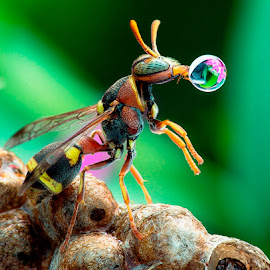 Wasp 150703A by Carrot Lim - Animals Insects & Spiders