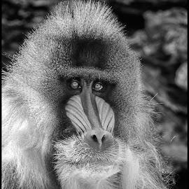 Mandrill by Dave Lipchen - Black & White Animals ( mandrill )