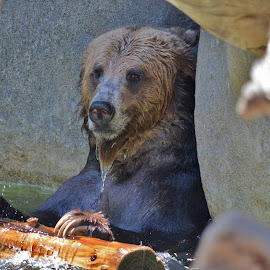 Bear cooling down in the water by Peter Murnieks - Animals Other ( water, bear, dry, nature, zoo, wood, stone, fur, wet )