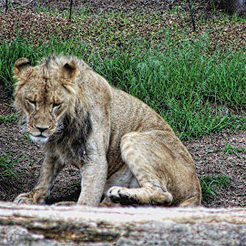 by Bruce Newman - Animals Lions, Tigers & Big Cats ( young lion, animals, nature, landscape )