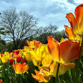 Tulips and Sky by Judy Florio - Flowers Flower Gardens ( orange, sky, trees, yellow, tulips, landscape, flowers, garden, spring )