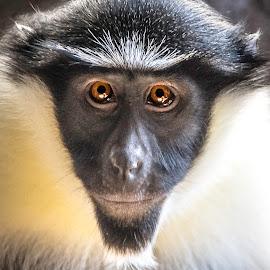 Monkeys by Paulo Peres - Animals Other Mammals ( look, tulsa, animals, zoo, monkey, mammal, eyes,  )