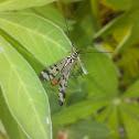 Сommon scorpionfly / скорпионница