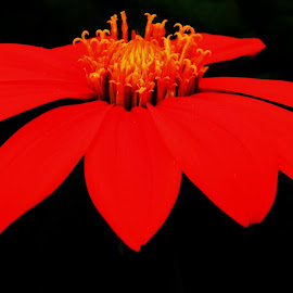 Tithonia Torch by Doug Lowry - Illustration Flowers & Nature