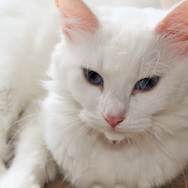 Lady Snow Monkey by Susan West - Animals - Cats Portraits ( cats, whiskers, blue eyes, albino, white cat )