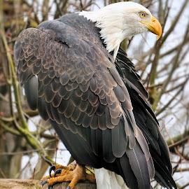 Eagle by David Branson - Animals Birds