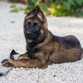 by Suzana Svečnjak - Animals - Dogs Puppies ( pets, german shepherd, puppy, dogs )