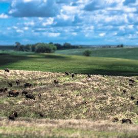 Buffalo on the Prarie by Andrew Brinkman - Landscapes Prairies, Meadows & Fields ( ranch, buffalo, prarie, south dakota, beasts, cattle, tilt shift )