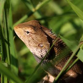 Lizard by Paramasivam Tharumalingam - Animals Reptiles