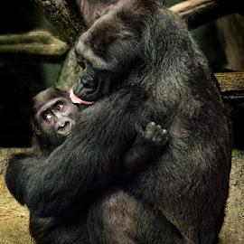 Mom's Love by Jon Kinney - Animals Other Mammals ( gorilla, baby gotilla )