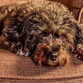 Tessa posing for the Camera by Anthony Sapone - Animals - Dogs Portraits ( chair, potrait, dog, posing, animal,  )