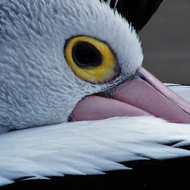 Pelican by Sarah Harding - Novices Only Wildlife ( bird, nature, outdoors, novices only, wildlife )