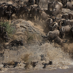 The Great Migration by VAM Photography - Animals Other Mammals ( mammals, animals, wildebeest, nature, serengeti, tanzania )