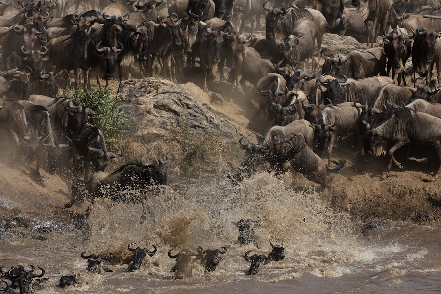 The Great Migration by VAM Photography - Animals Other Mammals ( mammals, animals, wildebeest, nature, serengeti, tanzania,  )