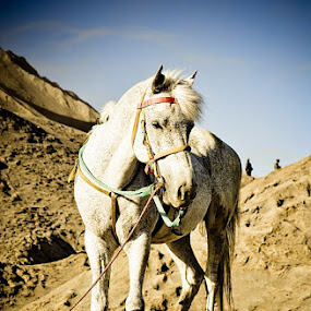 Jaran by Juang Rahmadillah - Animals Horses ( animals, mt bromo, indonesia, horse, travel )