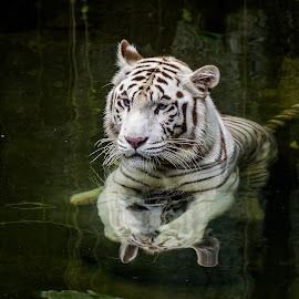 Swimming Lesson for the White Tiger by Chin Fei Ng - Animals Lions, Tigers & Big Cats ( big cat, reflection, white tiger, tiger, swimming )