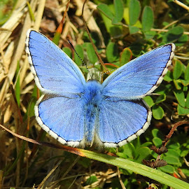 Adonis blue by Chris Roughley - Animals Insects & Spiders ( butterfly, blue, adonis blue, swanage, dorset )