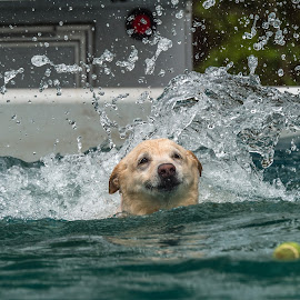 I want that Tennis Ball by Mike Watts - Animals - Dogs Playing ( playing, water, dog, swimming )
