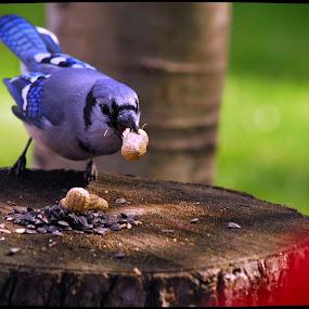 Peanut Thief!. by Steve Cooper - Animals Birds ( bird, peanuts, stump, blue, seeds )