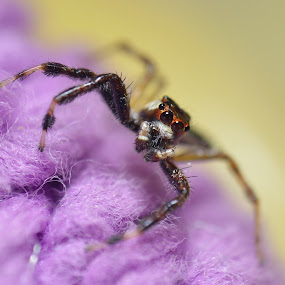 jumping spider by Zaidi Razak - Animals Insects & Spiders
