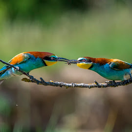 Bee-eater by Stanley P. - Animals Birds