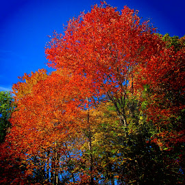 Autumn Beauty in Maine by Paulette King - Nature Up Close Trees & Bushes ( autumn, color, blue skies, trees, maine autumn )