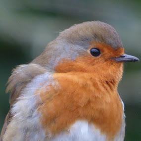Robin by Nick Parker - Uncategorized All Uncategorized ( robin,  )