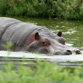 Hippo  by Chris Stallwood - Animals Other Mammals ( hippo, nature, wildlife )