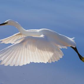 Taking off by Nikos Pa - Animals Birds ( flight, birb, egretta )